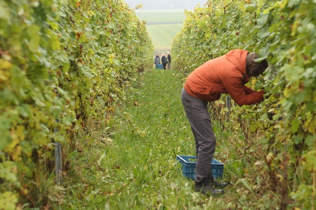 De druivenoogst bij wijngaard de Colonjes
